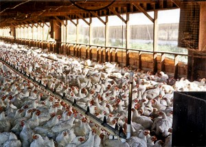 Chickens raised for slaughter